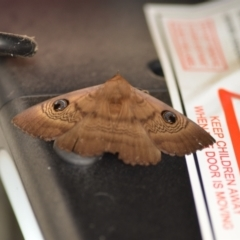 Dasypodia selenophora (Southern old lady moth) at Wamboin, NSW - 5 Nov 2020 by natureguy
