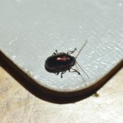 Edusella sp. (genus) (A leaf beetle) at Wamboin, NSW - 7 Nov 2020 by natureguy