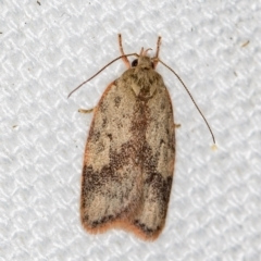 Garrha phoenopis (A Concealer moth) at Melba, ACT - 27 Jan 2021 by Bron