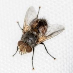 Tritaxys sp. (genus) at Melba, ACT - 27 Jan 2021