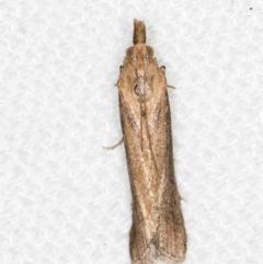 Faveria tritalis (Couchgrass Webworm) at Melba, ACT - 27 Jan 2021 by Bron