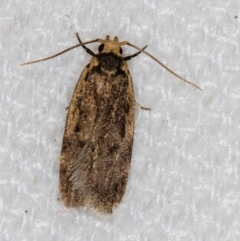 Hoplostega ochroma (A concealer moth) at Melba, ACT - 27 Jan 2021 by Bron