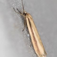 Philobota (genus) (Unidentified Philobota genus moths) at Melba, ACT - 27 Jan 2021 by Bron