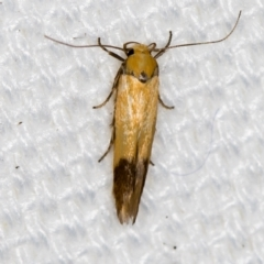 Stathmopodidae (family) (A Concealer moth) at Melba, ACT - 27 Jan 2021 by Bron