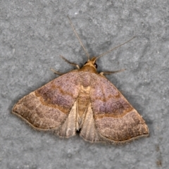 Meranda susialis (Three-lined Snout Moth) at Melba, ACT - 27 Jan 2021 by Bron