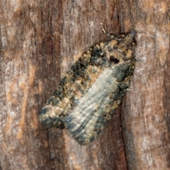 Thrincophora impletana (A Tortricid moth) at Melba, ACT - 27 Jan 2021 by Bron