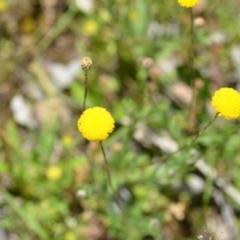 Leptorhynchos squamatus subsp. squamatus at Wamboin, NSW - 13 Nov 2020 by natureguy
