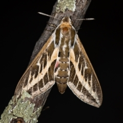 Hyles livornicoides (Australian Striped hawk Moth) at Melba, ACT - 27 Jan 2021 by Bron