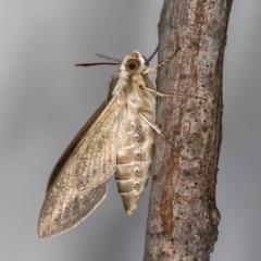 Hyles livornicoides at Melba, ACT - 27 Jan 2021