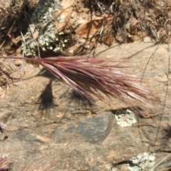 Bromus rubens (Red Brome) at Jones Creek, NSW - 28 Oct 2009 by abread111