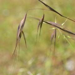 Themeda triandra (Kangaroo Grass) at Wamboin, NSW - 13 Nov 2020 by natureguy