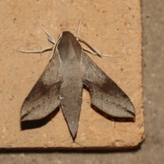 Hippotion scrofa (Coprosma Hawk Moth) at Higgins, ACT - 17 Jan 2021 by AlisonMilton