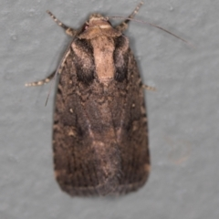Proteuxoa provisional species 2 at Melba, ACT - 27 Jan 2021 by Bron
