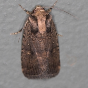 Proteuxoa provisional species 2 at Melba, ACT - 27 Jan 2021