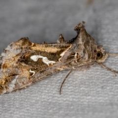 Chrysodeixis argentifera at Melba, ACT - 26 Jan 2021