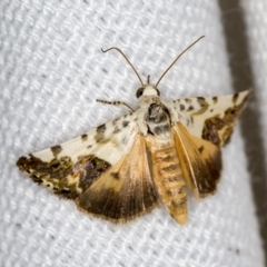 Acontia nivipicta (Blotched Shoulder) at Melba, ACT - 26 Jan 2021 by Bron