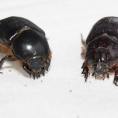 Dasygnathus trituberculatus (Rhinoceros beetle) at Higgins, ACT - 26 Jan 2021 by AlisonMilton