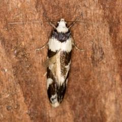 Isomoralla eriscota (A concealer moth) at Melba, ACT - 26 Jan 2021 by Bron
