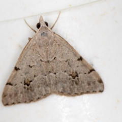 Dichromodes estigmaria (Pale Grey Heath Moth) at Melba, ACT - 26 Jan 2021 by Bron