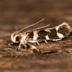 Macrobathra (genus) at Melba, ACT - 26 Jan 2021