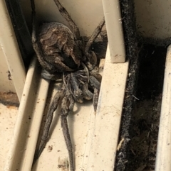 Tasmanicosa sp. (genus) (Unidentified Tasmanicosa wolf spider) at Gungahlin, ACT - 30 Jan 2021 by Petal