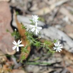 Stellaria pungens (Prickly Starwort) at Wamboin, NSW - 13 Nov 2020 by natureguy