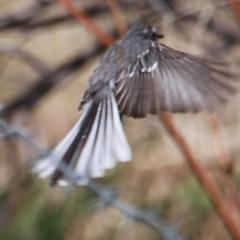 Rhipidura albiscapa (Grey Fantail) at Albury - 28 Jan 2021 by PaulF