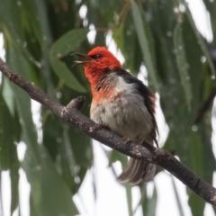 Myzomela sanguinolenta (Scarlet Honeyeater) at Namadgi National Park - 29 Jan 2021 by rawshorty