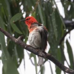 Myzomela sanguinolenta at Namadgi National Park - 30 Jan 2021
