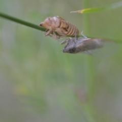 Cicadettini sp. (tribe) (Cicada) at Wamboin, NSW - 20 Nov 2020 by natureguy