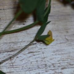 Lotus sp. (genus) (Trefoil) at Wamboin, NSW - 21 Nov 2020 by natureguy