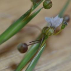Sisyrinchium rosulatum (Scourweed) at Wamboin, NSW - 21 Nov 2020 by natureguy