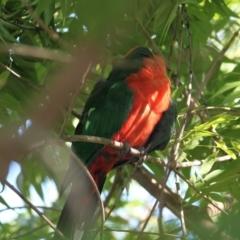 Alisterus scapularis (Australian King-Parrot) at Albury - 30 Jan 2021 by PaulF