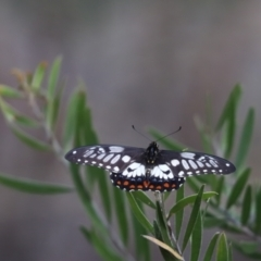 Papilio anactus (Dainty Swallowtail) at Cook, ACT - 30 Jan 2021 by Tammy