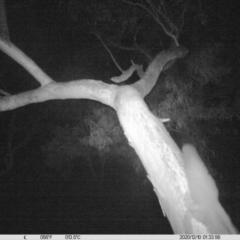Petaurus norfolcensis (Squirrel Glider) at Albury - 9 Dec 2020 by ChrisAllen