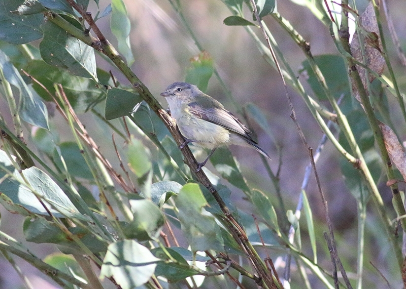 Smicrornis brevirostris at Albury - 25 Nov 2018