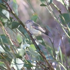 Smicrornis brevirostris (Weebill) at Albury - 24 Nov 2018 by Kyliegw