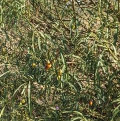 Solanum linearifolium (Mountain Kangaroo Apple) at Mount Majura - 30 Jan 2021 by abread111