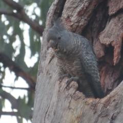 Callocephalon fimbriatum (Gang-gang Cockatoo) at Red Hill, ACT - 30 Jan 2021 by roymcd
