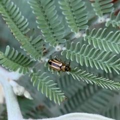 Monolepta froggatti (Leaf beetle) at Murrumbateman, NSW - 30 Jan 2021 by SimoneC