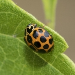 Harmonia conformis (Common Spotted Ladybird) at Higgins, ACT - 29 Jan 2021 by AlisonMilton