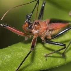 Gminatus australis (Orange Assassin Bug) at Higgins, ACT - 29 Jan 2021 by AlisonMilton