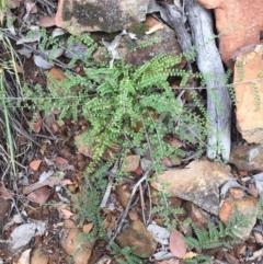 Bossiaea buxifolia (Bush Pea) at ANBG South Annex - 30 Jan 2021 by WalterEgo