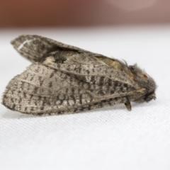 Trigonocytarra clandestina (Less-stick Case Moth) at Hawker, ACT - 29 Jan 2021 by AlisonMilton