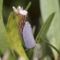 Anzora unicolor (Grey Planthopper) at Higgins, ACT - 29 Jan 2021 by AlisonMilton