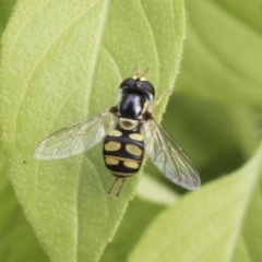 Simosyrphus grandicornis (Common hover fly) at Higgins, ACT - 29 Jan 2021 by AlisonMilton