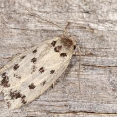 Ericibdela delotis (A Concealer moth) at Melba, ACT - 18 Jan 2021 by kasiaaus