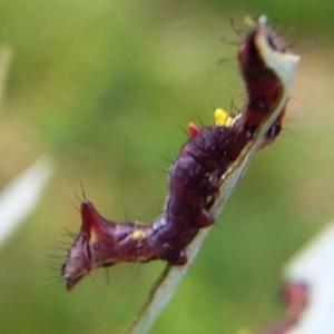 Neola semiaurata at Bermagui, NSW - 31 Jan 2021