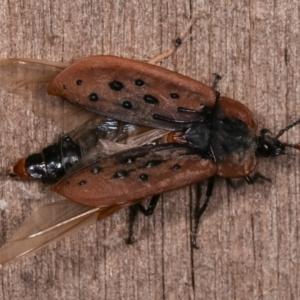 Ptomaphila lacrymosa at Melba, ACT - 19 Jan 2021
