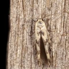 Stathmopoda melanochra (An Oecophorid moth (Eriococcus caterpillar)) at Melba, ACT - 18 Jan 2021 by kasiaaus